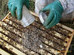 Return Sugar Coated Bees to Hive